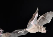 Bat Removal Grand Rapids