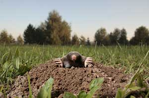 Grand Haen Mole Removal