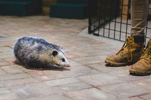 Grand Rapids Opossum Removal