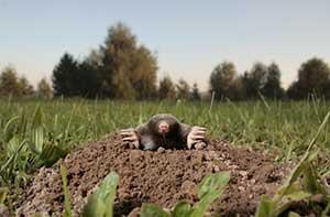 Cedar Springs Mole Removal